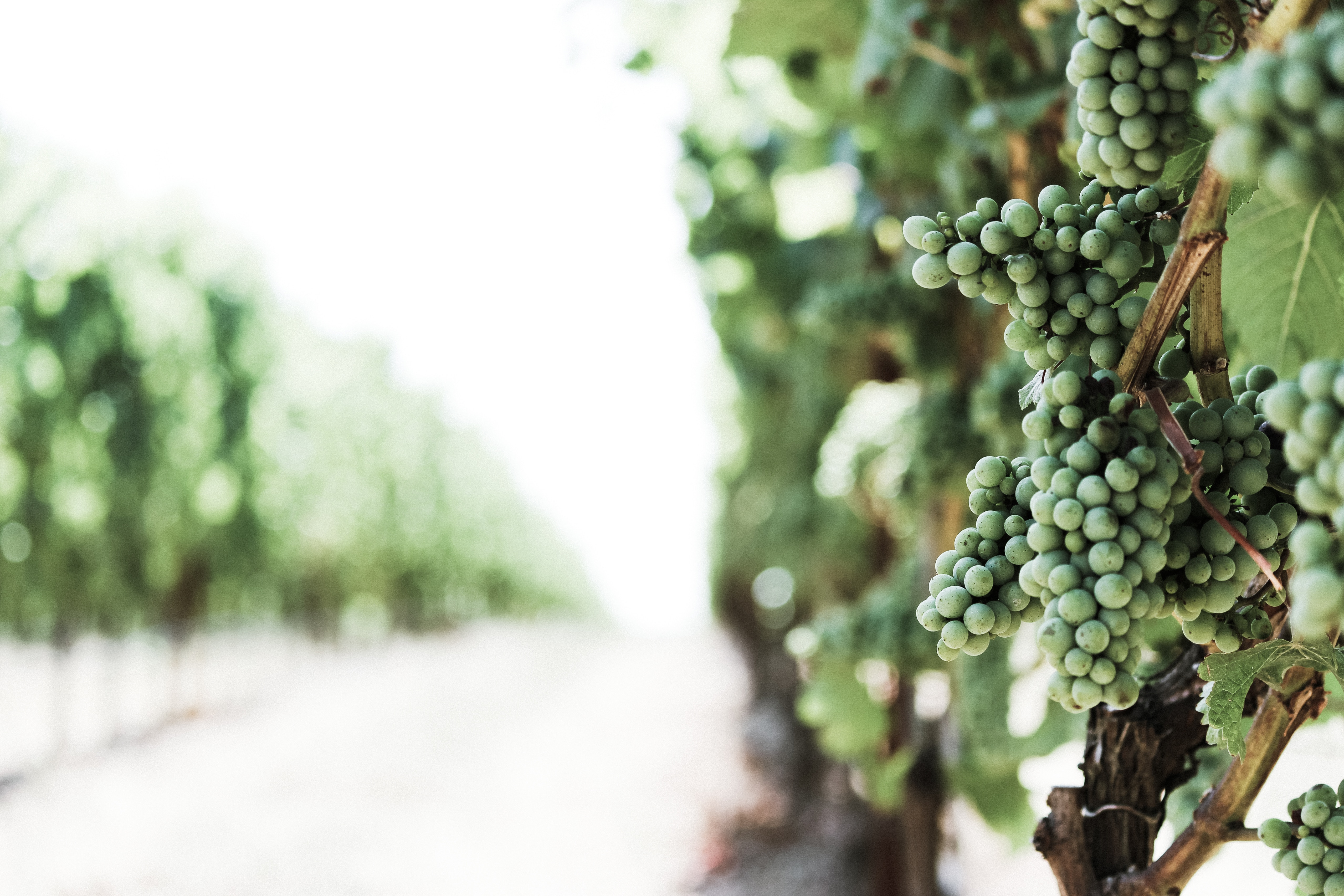 Portugals grønne vin