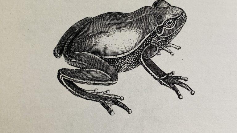 Frølår - cuisses de grenouille